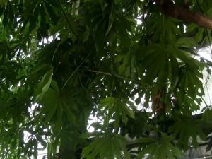 Maniok (Manihot esculenta)